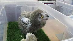 Baby snowy owl (billnbenj) Tags: video barrow cumbria owl raptor birdofprey snowyowl