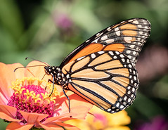 Monarch on Zinnia (tresed47) Tags: 2018 201808aug 20180810homemacro august butterflies canon7dmkii chestercounty content folder home insects macro monarch pennsylvania peterscamera petersphotos places season summer takenby technical us