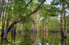 lushness (Nola Nate) Tags: swamp trees ibeauty cypress tupelo louisiana atchafalayabasin flatlake morgancity reflection bayou canal nature landscape green
