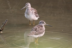 Greater Yellowlegs (Terrance Carr) Tags: dncb tfn 20180813 reifel 2018 august terry carr terrycarr
