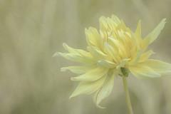 The Dahlia Collection (Nature as Art Photography) Tags: dahlia flowers longwoodgardens pennsylvania summer