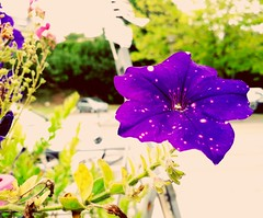 #flower#violet#beautiful#brest (luold6002) Tags: brest beautiful violet flower