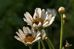 IMG_0893-1 (jörgpreusser) Tags: blume blumen blüte blüten insekt insekten spinne makro macro
