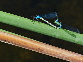 Mating Small Red-eyed Damselflies