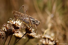 French Cricket (Wipeout Dave) Tags: cricket wildlife insect millau aveyron davidsnowdonphotography grasshopper