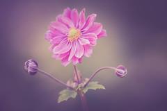 The Dancer (michel1276) Tags: olympus zuikomacro zuikomacro9020 bokeh macro makro flower blume anemone