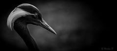 L'épéiste (Pilouchy) Tags: birds oiseau monochrome free animal wild bec regard life vie plume blackandwhite nature eyes