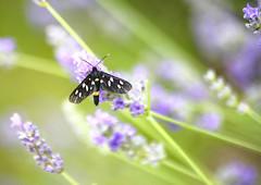 AMATA FEGEA. (FRANCO600D) Tags: farfallaprete 276 28 7 amatafegea farfalla farfallina lavanda