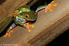 Red-eyed tree frogs (Agalychnis callidryas) in amplexus (edward.evans) Tags: amplexus mating redeyedtreefrog phyllomedusinae agalychnis agalychniscallidryas leaffrog treefrog frog amphibian hylidae guayacánrainforestreserve guayacan crarc siquirres costarica rainforest wildlife nature centralamerica latinamerica costaricanamphibianresearchcenter