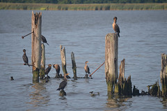 Pilings and Waterfowl (rchrdcnnnghm) Tags: abandoned dock pier ferryslip pilings birds waterfowl piermontny rocklandcountyny