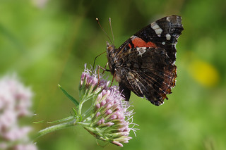 IMGP9184c Red Admiral, Lackford Lakes, August 2018