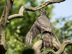 Sparrowhawk (Accipiter Nisus) spreading wings (SteveYoung839) Tags: femalesparrowhawk sparrowhawk bird birdofprey sevenoaks kent olympus panasonic omd em1mk1 leica 100400 steveyoung