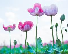 Vivid Poppies (photoart33) Tags: vivid bright poppies field shropshire shropshirepetals flowers pink purple