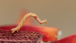 Inch worm - The larval stage of moths of the Geometridae family. About 8mmm long, but will grow to about 25mm,