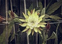 Epiphyllum - Humdinger (HYDT3) Tags: epiphyllum epi garden cactus flower humdinger