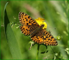 Small Pearl-bordered Fritillary (glostopcat) Tags: smallpearlborderedfritillary fritillary butterfly insect invertebrate macro glos june summer meadowbuttercup wildflower forestofdean linearpark cinderford