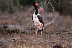 Saddle-Billed Stork (mayekarulhas) Tags: krugerpark mpumalanga southafrica za safari stork saddle canon bird avian wildlife