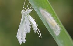 White plume moth (kl_ben) Tags: whiteplumemoth white plume moth sneeuwwitte vedermot pterophorus pentadactylus lendevallei pterophoruspentadactylus sneeuwwittevedermot