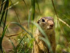 Ziesel, ground squirrel (Klaus Lechten) Tags: ziesel erdhörnchen gophers gopher groundsquirrels animals tiere gras groundsquirrel squirrel natur nature grass klaus zukio50200 lechten nager bokeh