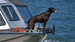 Bow Watch (Scott 97006) Tags: boat ride water river canine animal dog front bow