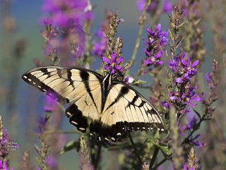 Butterfly Tiger Swallowtail.