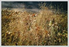 Un été sec (afantelin) Tags: parisxive herbe orangé sec trottoir iledefrance végétal