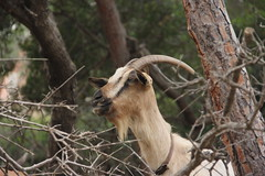 IMG_4121 (Benny Hünersen) Tags: sardinien sardinia sardegna italy italien italia ferie holiday travel arbatax mountains 2018 august bjerge berge ged goat