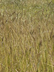 Espigues silvestres / Espigas silvestres (JAPG 1100D) Tags: آذانالبرية canon eos 1100d 1855mm 55mm f13 1250 iso800 bergueda bagà barcelona catalunya cataluña catalonia لسان tang шпилька