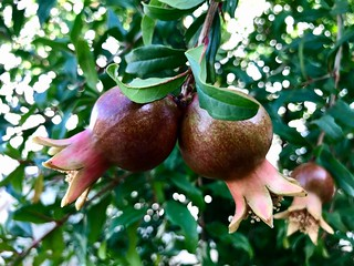 """Pomegranates In Love"""