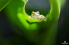 Peeper (matthewolsonphotography.com) Tags: froglet frog pacifictreefrog treefrog amphibian green wetland oregon outdoor animal herpetology macro tiny perspective