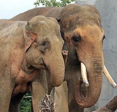 asiatic elephant Nicolai and Thong Tai artis JN6A0516 (j.a.kok) Tags: olifant elephant asia asiaticelephant azie aziatischeolifant animal artis herbivore mammal zoogdier dier thongtai nicolai
