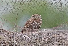 Little Owl (Gary Chalker, Thanks for over 3,000,000. views) Tags: owl birdofprey littleowl bird pentax pentaxk3ii k3ii pentaxfa600mmf4edif fa600mmf4edif fa600mm 600mm