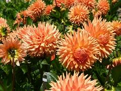 dahlias 2/5 (Jef Poskanzer) Tags: flower flowers dahlia dahlias dahliagarden goldengatepark geotagged geo:lat=3777251 geo:lon=12245924 t