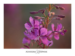 Sunset in PInk. (smoothna) Tags: flowers wild mountains poland pieniny nature d90 macro pink smoothna sunset macroflowerlovers