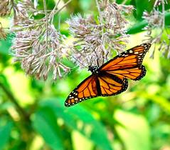 Monarch Butterfly (MJRodock) Tags: olympus em5markii mzuiko digital ed 1240mm f28 monarch butterfly orange