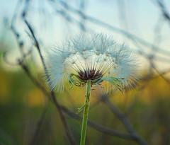 Dandelion Seed (Kat~Morgan) Tags: seed nature macro sonya3000 dandelion