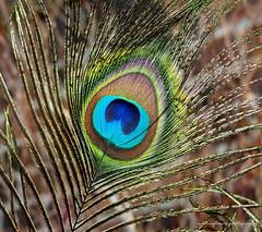 Mid-blue. (natureflower) Tags: midblue spread tailfeathers peacock