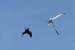 Attaque d'une corneille contre un Goéland A7301377_DxO (jackez2010) Tags: ilce7m3 fe100400mmf4556gmoss bif birdinflight attaquedunecorneillecontreungoéland corneille goéland