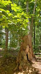 Stumped (grinnin1110) Tags: rockyriverroad charlotte unitedstatesofamerica sunny trees treestump northamerica woods northcarolina afternoon mensapicnic outdoor reedycreekpark usa mecklenburgcounty nc