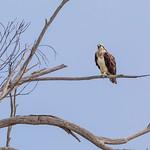 Osprey thumbnail
