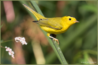 A really yeIlow male Wilson's Warbler