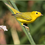 A really yeIlow male Wilson's Warbler thumbnail
