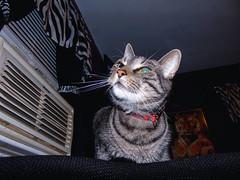 DSC01268 (MykeOwns) Tags: tabbycat tabby cat cats