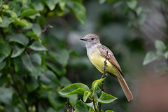 Great-crested Flycatcher Fledgling-49108.jpg (Mully410 * Images) Tags: birdwatching birding backyard greatcrestedflycatcher bird birds flycatcher birder fledgling