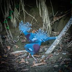 Victoria Crowned Pigeon (Judy Sara11) Tags: bird karawari newguinea victoriscrownedpigeon honeyeater crownedpigeon yellowfaced victoria animal
