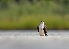 Osprey (T L Sepkovic) Tags: osprey birdsofprey raptor canon 5dmkiv wildlife wildlifephotography ngc
