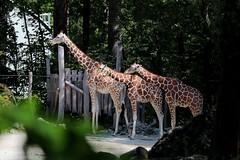 Giraffen (mux68-uh) Tags: zoo tierpark hellabrunn tierparkhellabrunn münchen munich giraffe