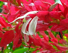 Red With White (Cornishcarolin. Stupid busy!! xx) Tags: cornwall httpswwwedenprojectcom nature flowers plants