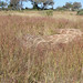 Hyperthelia dissoluta (Yellow Thatching Grass)