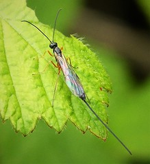 Small Ichneumon Wasp (gailhampshire) Tags: small ichneumon wasp